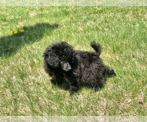 Poodle (Toy) Puppy for sale in STAFFORD SPRINGS, CT, USA
