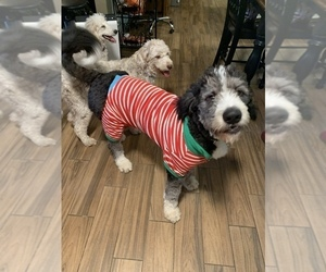 Aussiedoodle-Bernedoodle Mix Puppy for sale in HOLT, MO, USA