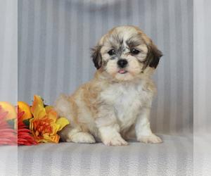 Zuchon Puppy for sale in NARVON, PA, USA