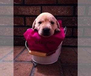 Labrador Retriever Dog for Adoption in MATTAPOISETT, Massachusetts USA