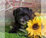 Small #2 Maltipoo-Poodle (Miniature) Mix