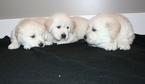 Golden Retriever Puppy For Sale in FRANKFORT, OH, USA