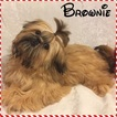 Shih Tzu Puppy For Sale in RESEDA, CA, USA