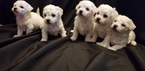 Bichon Frise Puppy For Sale in VISALIA, CA, USA