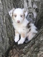 Australian Shepherd Puppy For Sale in PENDLETON, OR, USA