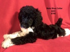 Poodle (Standard) Puppy For Sale in SMITHVILLE, Mississippi,