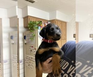 Rottweiler Puppy for sale in BRANDON, FL, USA