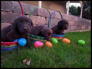 Labrador Retriever Puppy For Sale in PEORIA, AZ, USA
