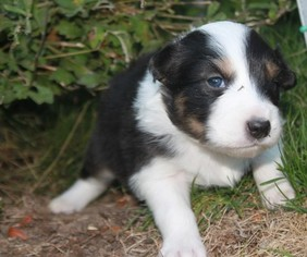 Australian Shepherd Puppy For Sale in PENDLETON, OR