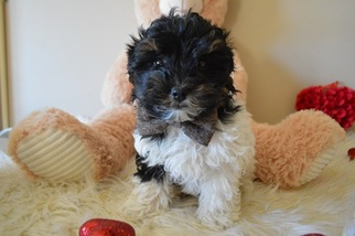 Puppyfinder com: Maltipoo puppies puppies for sale near me in Honey