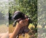 Small #3 Xoloitzcuintli (Mexican Hairless)