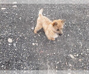 Medium Cairn Terrier