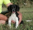 Cockeranian Puppy For Sale in ELKLAND, MO, USA