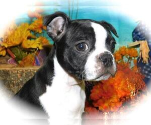 Boston Terrier Puppy for Sale in HAMMOND, Indiana USA