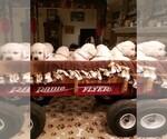 English Cream Golden Retriever Puppy For Sale in PENNINGTON, TX, USA