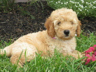 Goldendoodle Puppy For Sale in FEDERALSBURG, MD