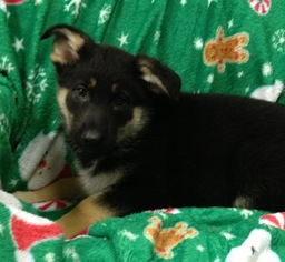 German Shepherd Dog Puppy For Sale in CONOWINGO, MD