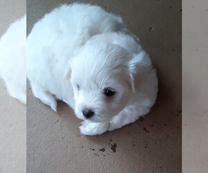 Maltese Puppy for sale in DELTONA, FL, USA
