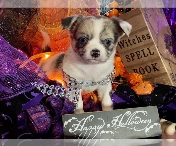 Medium Photo #19 Bullhuahua-Chihuahua Mix Puppy For Sale in RAWSONVILLE, MI, USA
