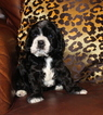 AKC Reg Cocker Spaniel Puppy June 2017