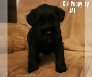 Schnauzer (Miniature) Puppy for sale in LAKEVILLE, OH, USA