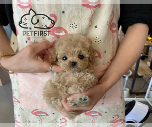 Maltipoo Puppy for sale in DIX HILLS, NY, USA