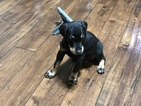 Doberman Pinscher Puppy For Sale in FRESNO, CA,