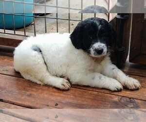 Pyredoodle Puppy for sale in MARION, TX, USA