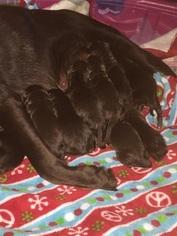 Labrador Retriever Puppy For Sale in KINCAID, IL, USA