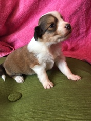 English Shepherd Puppy For Sale in SOUTH BOSTON, VA, USA