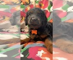 Puppy 6 Golden Irish-Poodle (Miniature) Mix