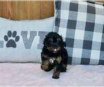 Puppy 4 YorkiePoo