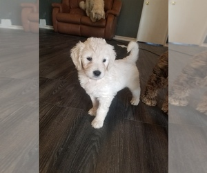 Goldendoodle Puppy for Sale in HERALD, California USA