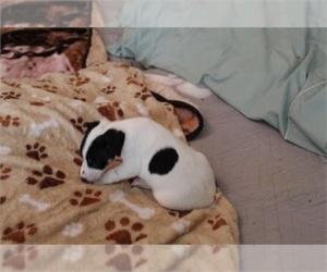 Jack Russell Terrier Puppy for sale in MIAMI, FL, USA