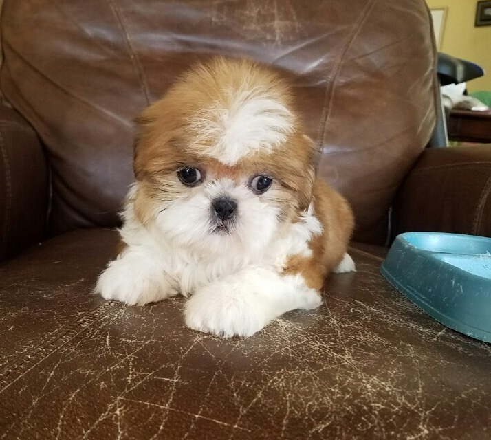 shih tzu breeders southern california view ad shih tzu puppy for sale near california los 4813