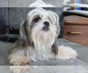 Mother of the Shih Tzu puppies born on 04/16/2020