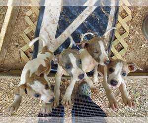 Whippet Mix Dog for Adoption in EUREKA, South Carolina USA