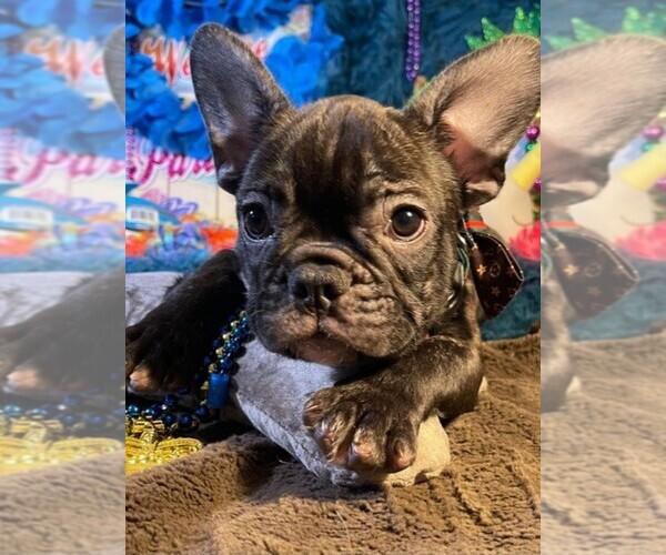 Medium Photo #3 French Bulldog Puppy For Sale in HEATHROW, FL, USA