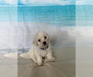 Bichon Frise Puppy for sale in ELDERWOOD, CA, USA