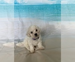 Image preview for Ad Listing. Nickname: Bichon