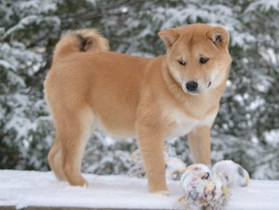 Shiba Inu Puppy For Sale in MOHNTON, PA, USA
