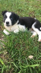 Border Collie Puppy for sale in CENTRAL CITY, KY, USA