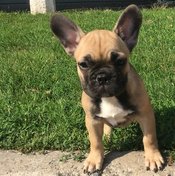 View Ad: French Bulldog Puppy for Sale near In Northern Ireland UK