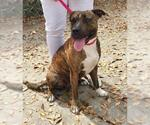 Small #33 American Pit Bull Terrier