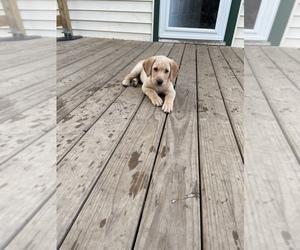 Labrador Retriever Puppy for Sale in SYLVANIA TOWNSHIP, Ohio USA