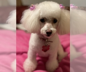 Poodle (Toy) Puppy for sale in HUNTSVILLE, AL, USA