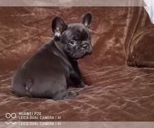 French Bulldog Puppy for sale in AUSTIN, TX, USA