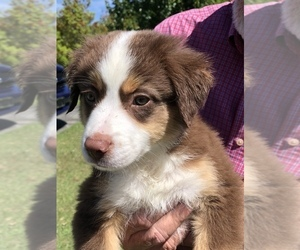View Ad: Miniature American Shepherd Puppy for Sale near