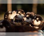 Meekas Puppies