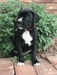 Boxer Puppy For Sale in WESTVILLE, Oklahoma,